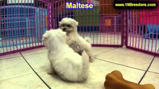 Maltese, Puppies, For, Sale, In, Kearney, Nebraska, Ne, Fremont, Hastings