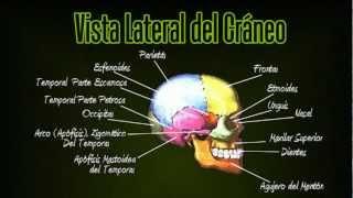 Tutoriales de Anatomia - Los Huesos del Cráneo -  Huesos de la Cabeza - Huesos del Cuerpo Humano