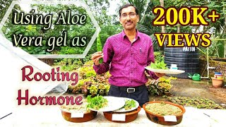 Can Aloe Vera Gel be used as ROOTING Hormone ??
