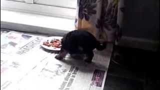 Yorkshire Terrier Pup - Strange Eating Habit.