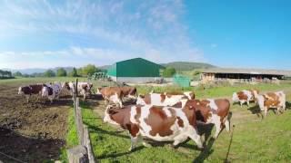 Elevage de vaches laitières dans l'Isère