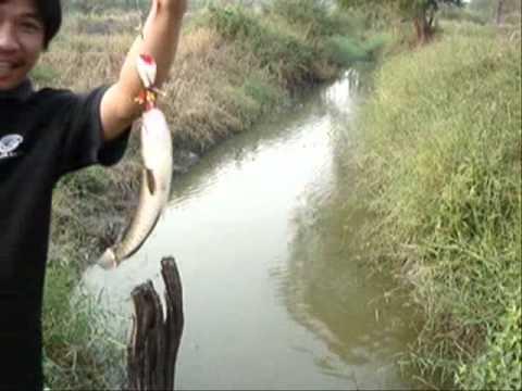 Test ปลาช่อน บ่อลุงแดง พนัสนิคม1.wmv