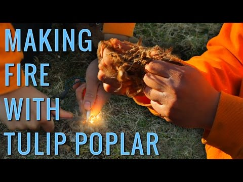 Best Natural Tinder Sources | Identifying Tulip Poplar Tree for Tinder & Friction Fire