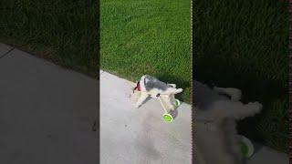 Disabled Dog Gets its Mobility Back    ViralHog
