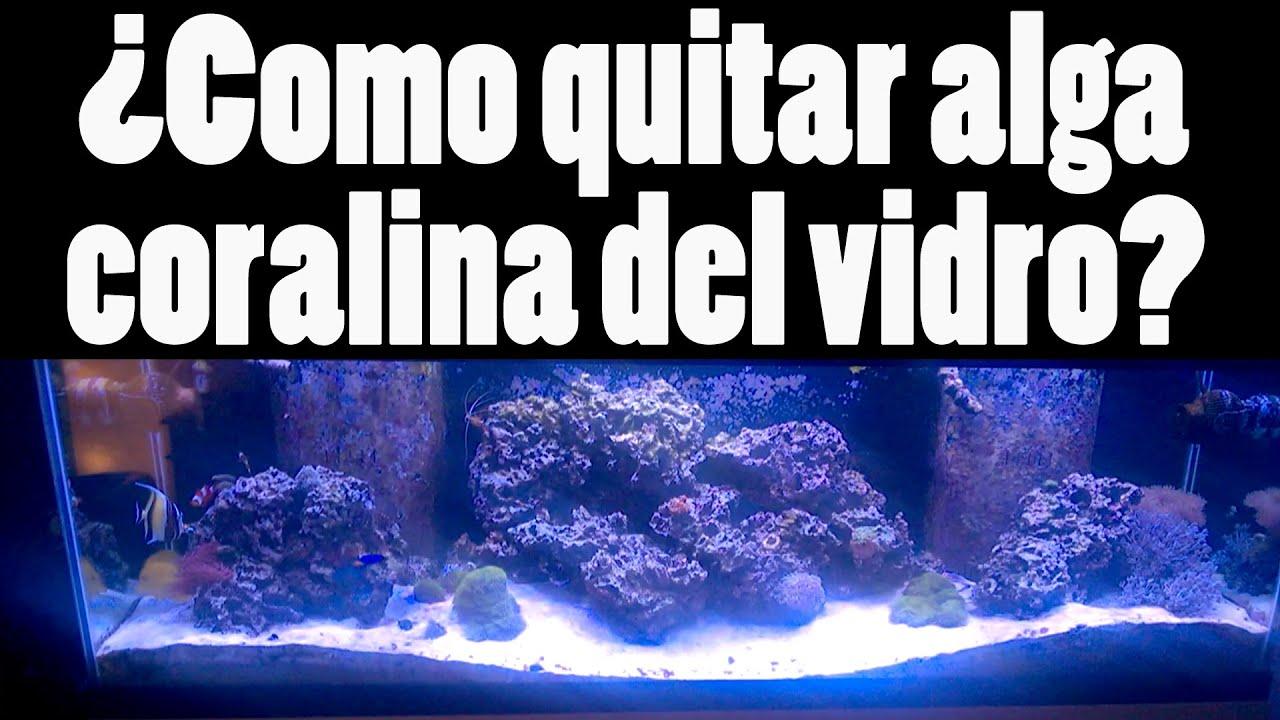 Como quitar alga coralina del vidro de una pecera - YouTube
