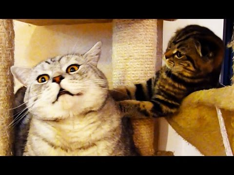 Funny Scottish Fold Kitten annoying lazy Cat
