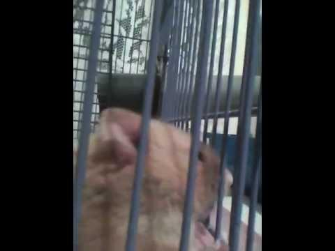 Consejos y guia y sobre hamsters (parte 2 adquicision traslado a tu casa)