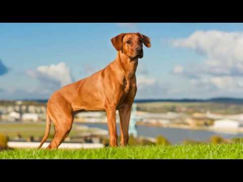 Rhodesian Ridgeback - large dog breed