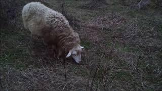 Баран нападает на животных и людей. Содержание овец и коз.