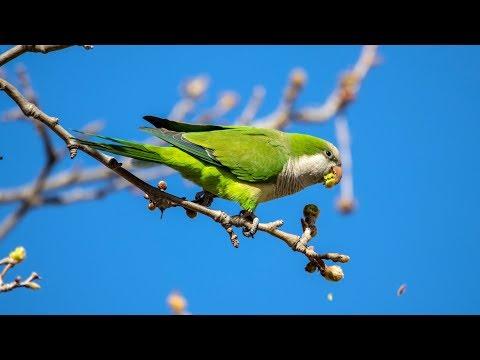 Попугаи-монахи (Myiopsitta monachus) Барселоны. Птицы Испании.