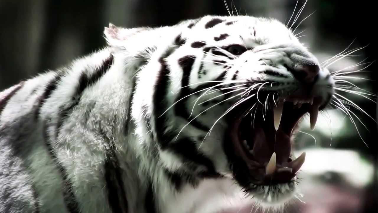 leon y tigre blanco - photo #31
