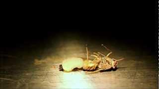 Tsetse fly giving birth.