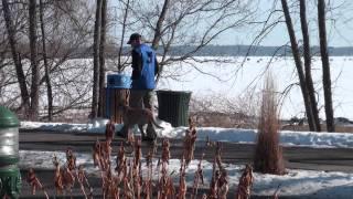 Elvis (labrador Retriever) Boot Camp Level Ii. Dog Training Minnesota