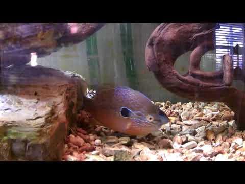 Native Tank - Week 3 - Pumpkinseed Spawning