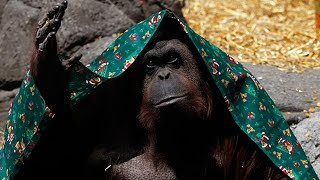 """Court Rules In Favor Of Orangutan's """"Non-Human Person"""" Right To Freedom"""