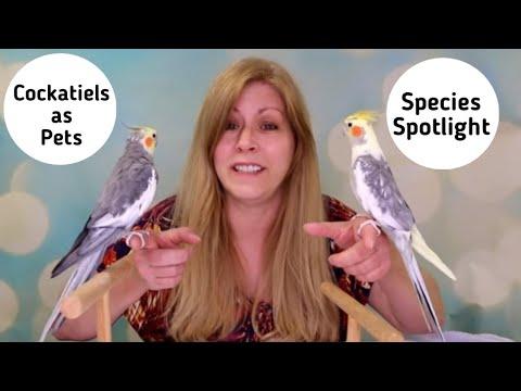 Cockatiels As Pets   Living With Cockatiels   Species Spotlight