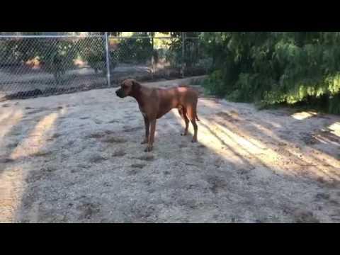 Puman and Rhodesian Ridgeback Dog Playing - Myrtle Beach Safari