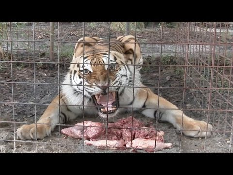 Feeding Time With The June Birthday Big Cats