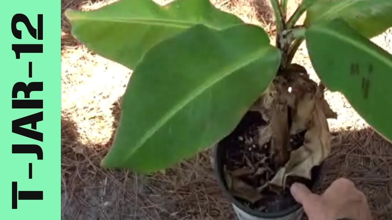 Grow Banana Tree In A Pot