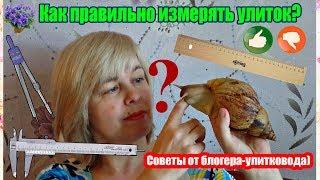 Как измерить улитку( ахатину или архахатину)? Советы от блогера ,опытного улитковода СВЕТЛАНЫ)