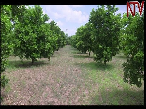 On The Farm: Challenges of orange farming in Teso