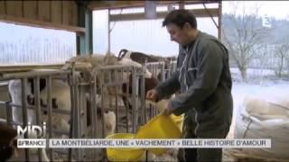 ANIMAUX : La Montbéliarde, une