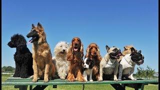 Рейтинг самых легко обучаемых пород собак
