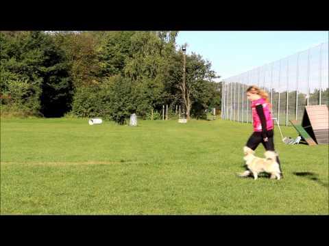 Viska, icelandic sheepdog, obedience