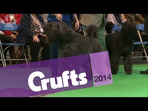 Best of Breed | Bouvier des Flandres | Crufts 2014