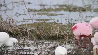 Video Feeding Roseate Spoonbills download MP3, 3GP, MP4, WEBM, AVI, FLV Oktober 2018