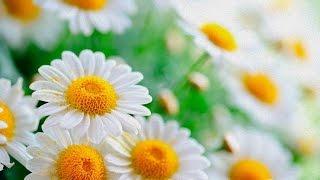 Скачать Ромашки Красивые цветы и красивая музыка