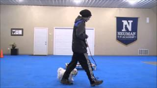 Augie (Maltese) Boot Camp Dog Training Demonstration