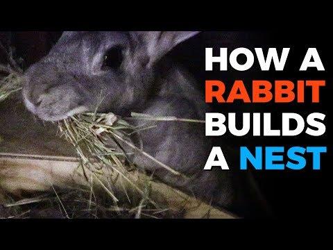 How A Rabbit Builds A Nest
