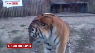 Тигра-беглеца Устина выпустили в открытый вольер зоопарка Ростова