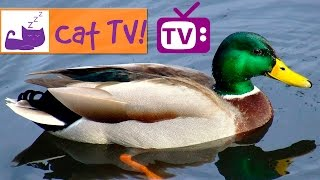 Cat TV - 30 Ducks Swimming in the Pond Combined with Relaxing Music. Engaging TV for Cats. Ep 5