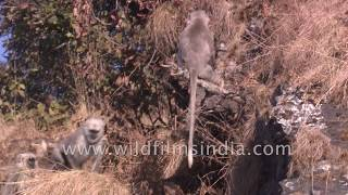 Langur monkey pulls the tail of a wild Goral or mountain goat - animals do have a sense of humour!