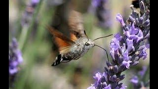 CRHnews - Supersonic Hummingbird Hawk Moth slow mo