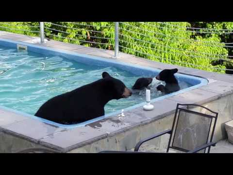 Bears in our pool
