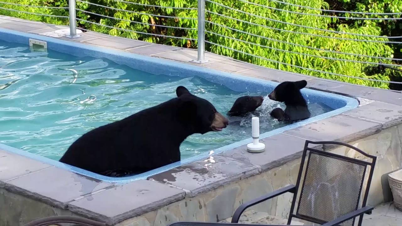 Viral video of black bears crashing a pool party delights