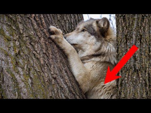 Лесник не смог пройти мимо еле дышащей, БЕРЕМЕННОЙ ВОЛЧИЦЫ. Она лежала под поваленным деревом..