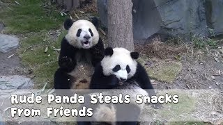 Rude Panda Steals Snacks From Friends | iPanda