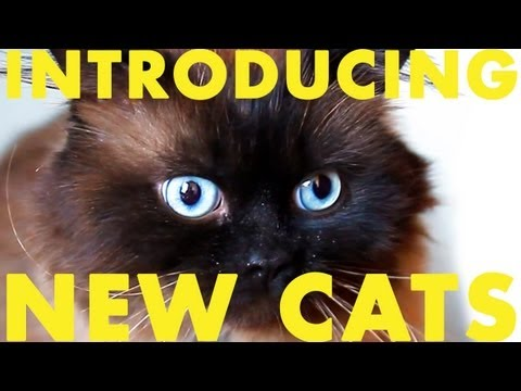 How to introduce two cats to each other: Two male cats, Baby Himalayan & Tuxedo SHORT FILM