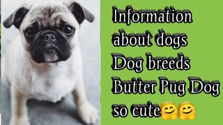 Information about dogs, Dogs Breeds, Butter Pug, #pug, Dog Breed Info, #doginfo