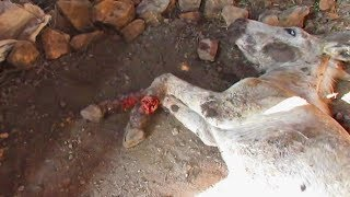 Abused donkey with legs lacerated rescued