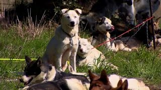 53 Iditarod Race Dogs Stranded Going Home to Norway