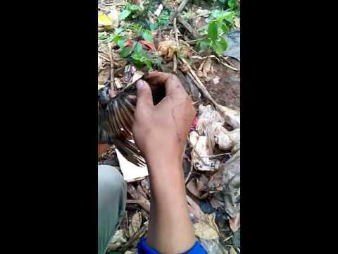 Burung trucuk kena jaring(2)