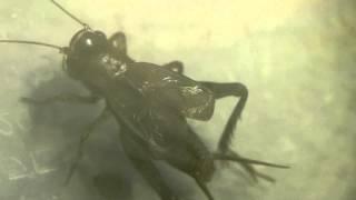 Loxoblemmus Cricket Song ハラオカメコオロギ♂の鳴き声♪