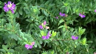 POLIGALA II: Polygala myrtifolia (http://www.riomoros.com)