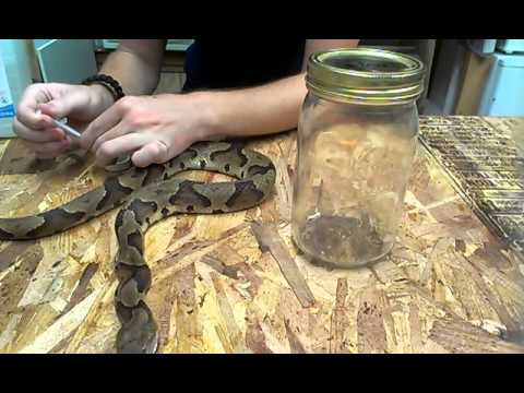 How to Preserve a Dead Snake in Alcohol