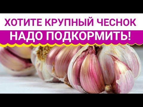 видео: Хотите крупный чеснок   надо подкормить!